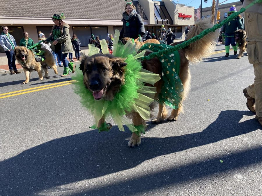 Even dogs get in the St. Patricks spirit at the annual Belmar parade.