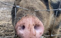 Willie the pig puckered up and ready to SMOOCH!